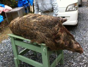 狩猟で獲った猪